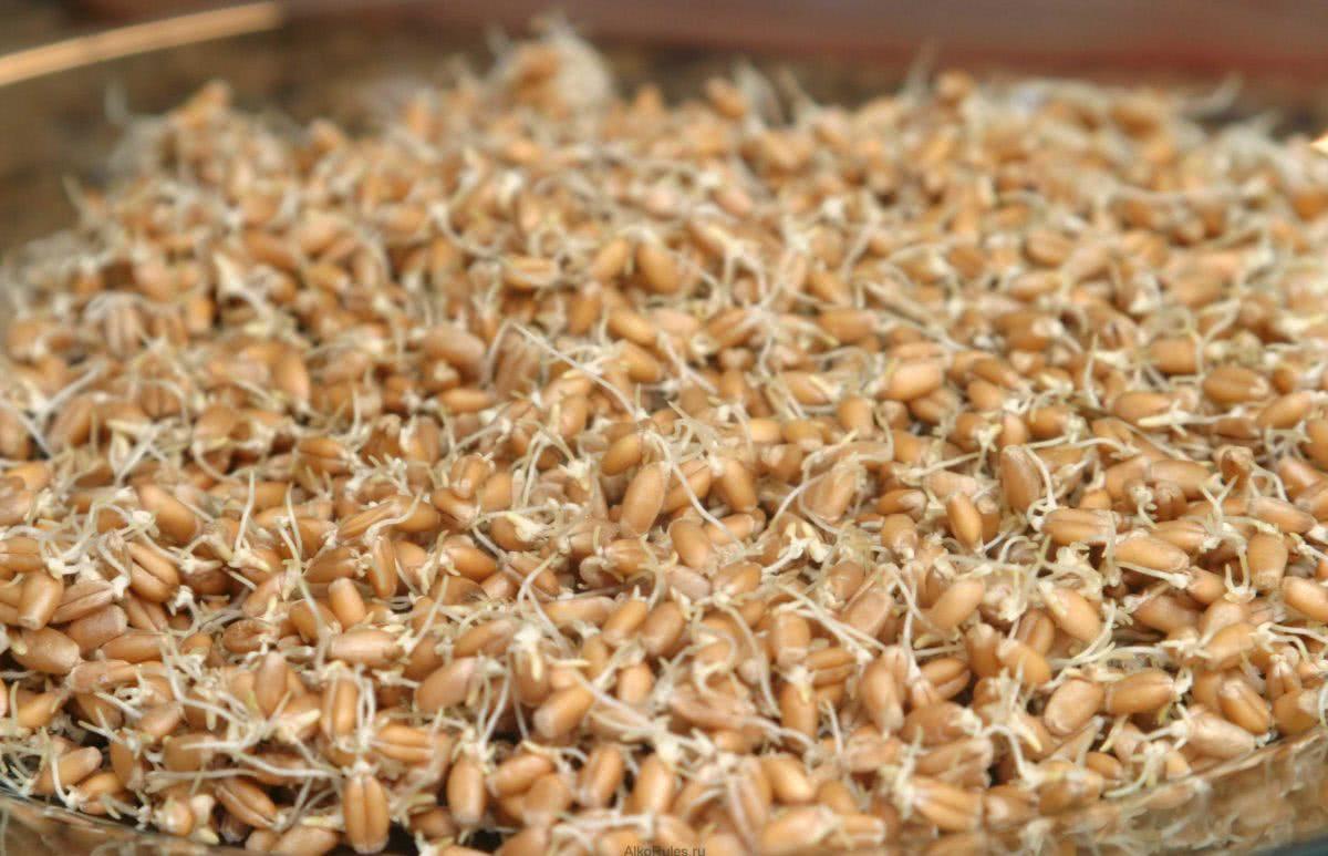 Самогона из пророщенной пшеницы в домашних условиях 825