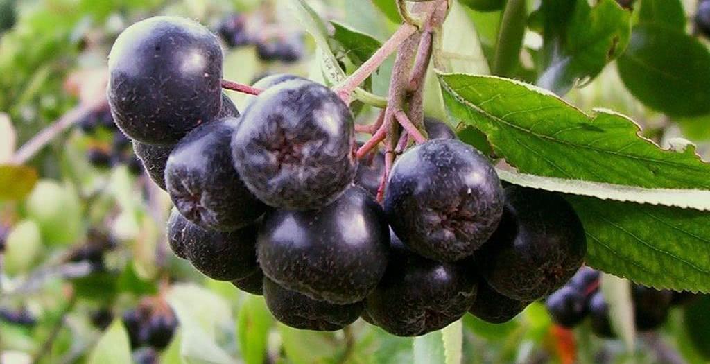 Рецепт приготовления ликера и настойки из черноплодной рябины