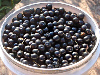 Рецепт приготовления домашнего самогона из черемухи