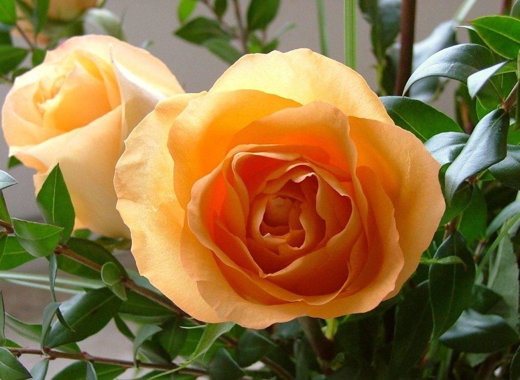 Рецепт приготовления домашнего вина из чайной розы
