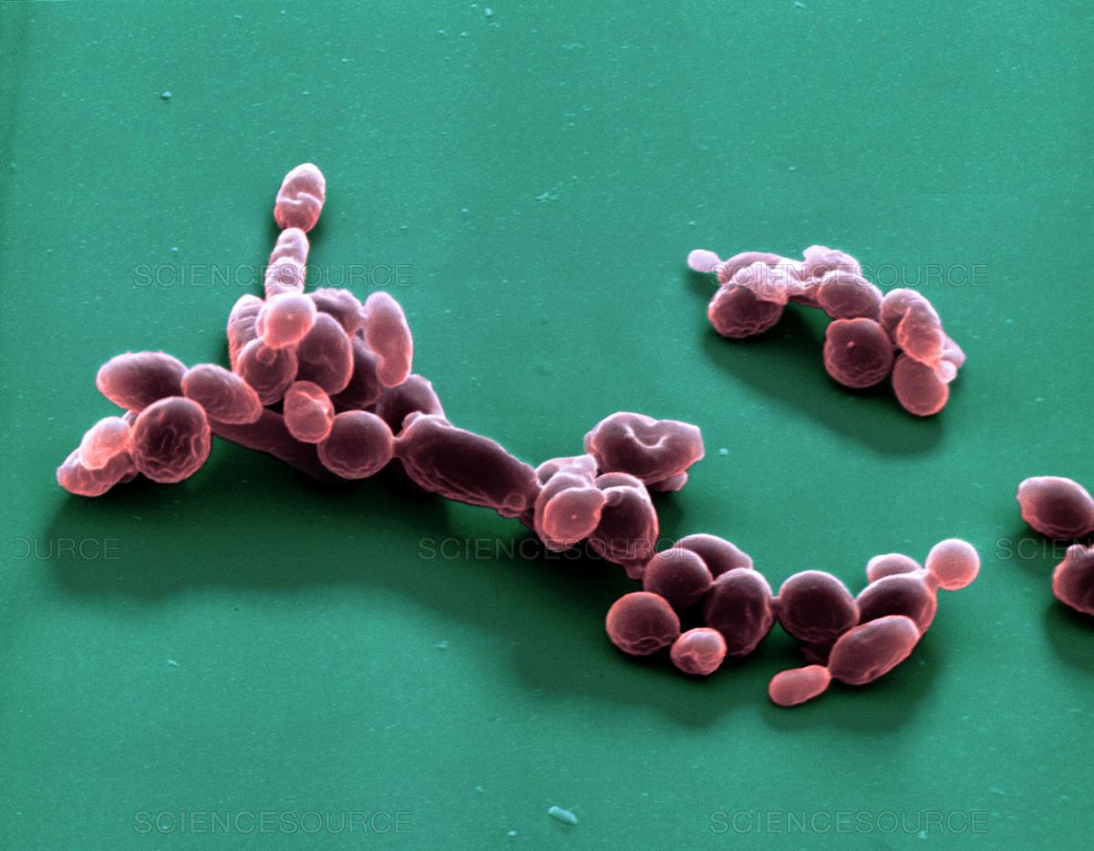 Saccharomyces ellipsoideus Винные дрожжи