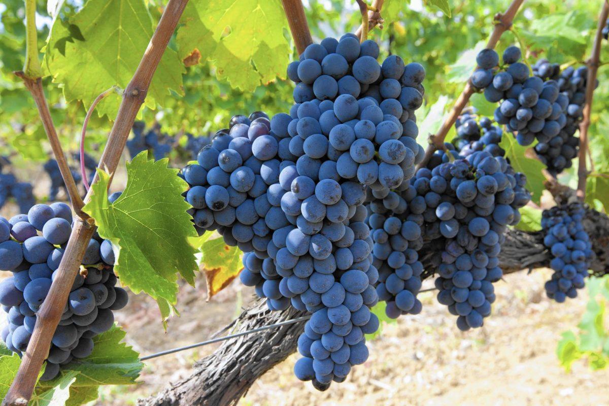 Sangiovese – сорт красного винограда, широко используемый в виноделии. Получил свое название от латинского выражения Sanguis Jovis — «кровь Юпитера».
